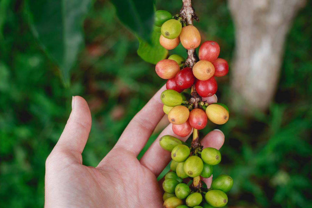 Caffè sulla pianta